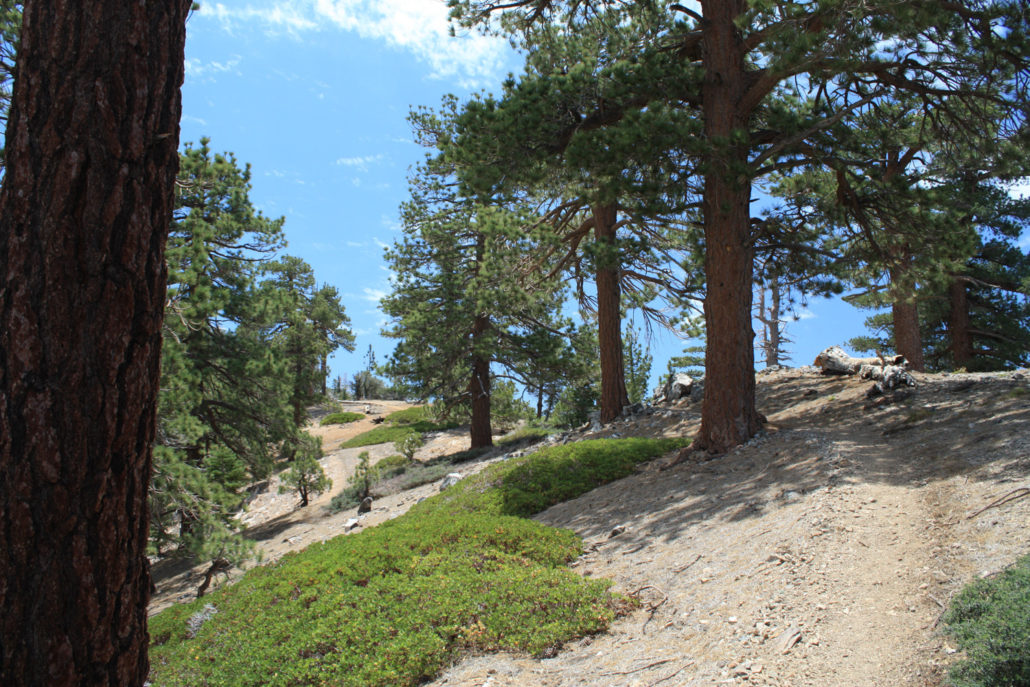 pine trees near Throop Peak