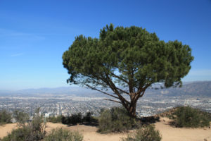 Wisdom Tree and Cahuenga Peak