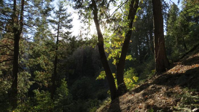 Sugar Pine Loop (11)
