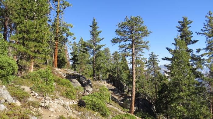 Sugar Pine Loop (2)