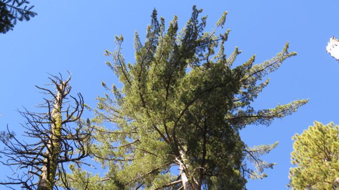 Sugar Pine Loop (5)