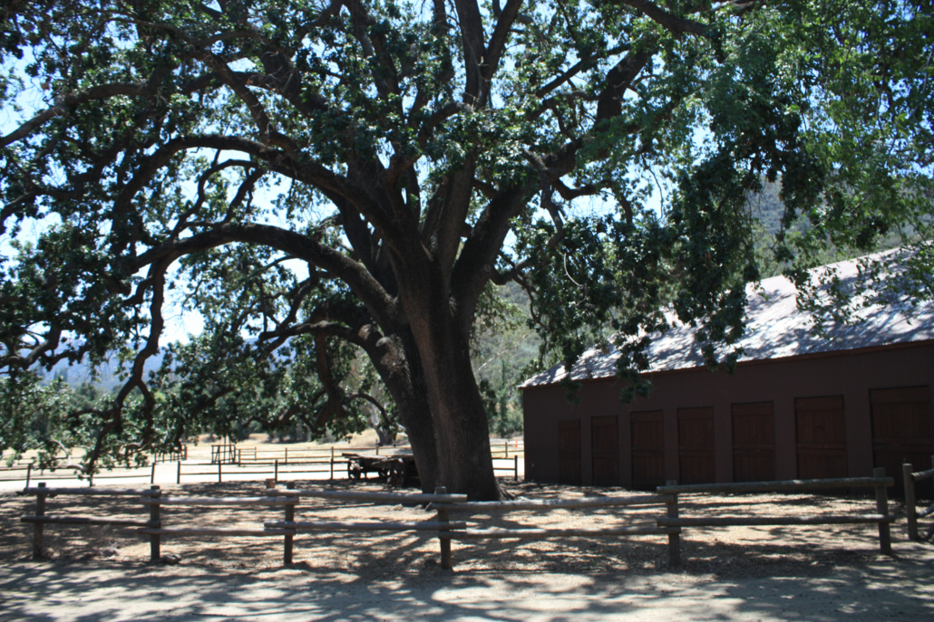 the witness tree in paramount ranch 2015